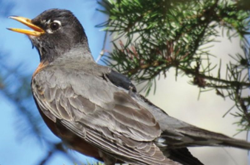 Bird observatory involved in NASA robin study
